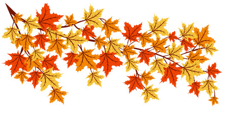maple tree: Autumn maple tree branch with colorful leaves isolated on white