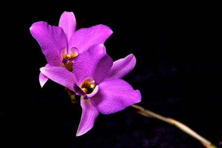 Purple Dendrobium Orchid on black background