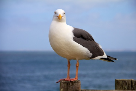 Seagull facing the camera with ocean in the background Banque d'images