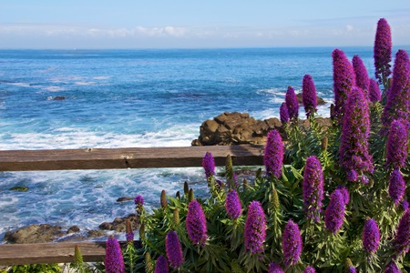 monterey: Calm Ocean with Purple Flowers in the foreground