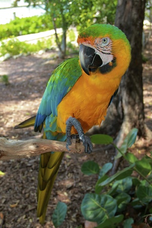 Hybrid Macaw Full Length in the rainforest photo