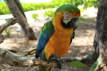 Hybrid Macaw Close-Up in the rainforest photo