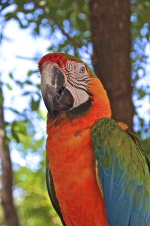 Hybrid Macaw Close-Up with an open beak in the rainforest photo
