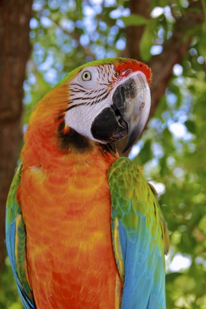 Hybrid Macaw Close-Up with an open beak photo