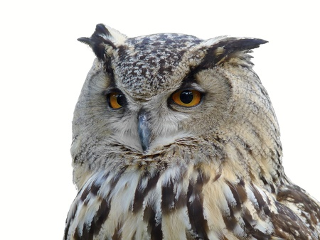 Horned Owl Isolated Portrait on white photo