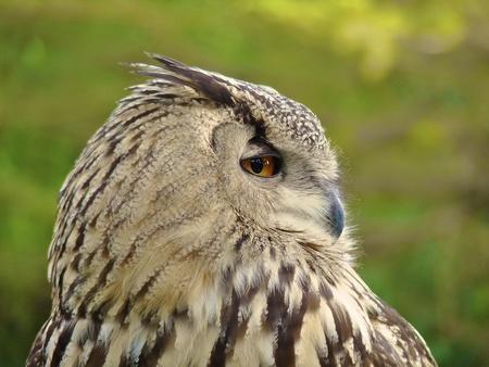 horned: Horned Owl Profile Portrait Stock Photo