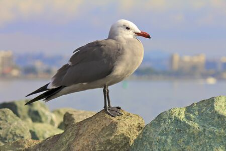 American Herring Seagull with ocean in the background