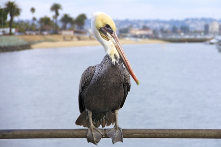 Adult Pelican Close-Up With The Ocean In The Background photo
