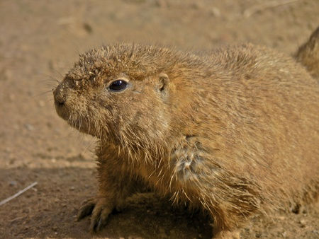 Cute Prairie Dog Close-Up Portrait photo