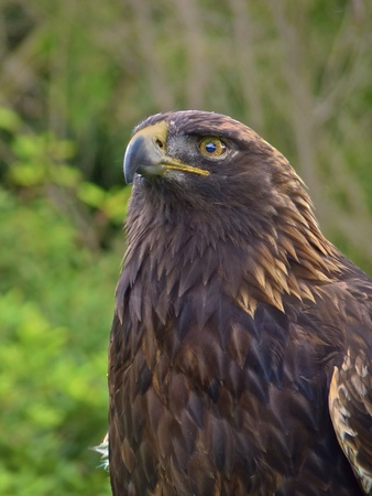 Beautiful grown golden eagle, close up portrait over a green background  photo