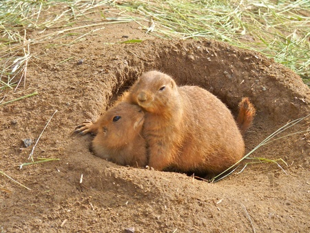 Cute Prairie Dogs Showing Affection close up photo