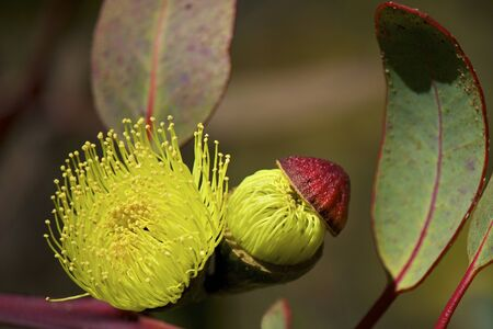 Philips River Gum Eucalyptus in bloom with flowers and blossoms. Eucalyptus grossa