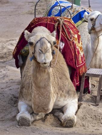 oriental rug: Camel taxi in Marrakech, Morocco