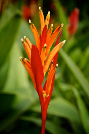 heliconiaceae: Close up of a red parakeet flower  Heliconia psittacorum