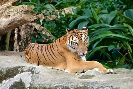 zoo: Tiger se relajó en el Zoo de Singapur Foto de archivo