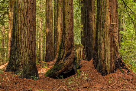 Mossy tree trunks of giant sequoia trees the Redwoods Forest in California Stock Photo
