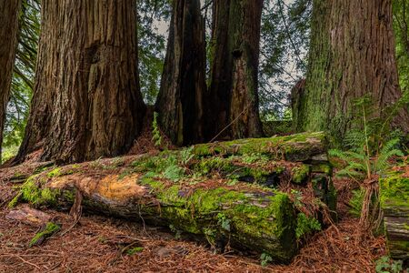 Mossy tree trunk amongst giant sequoia trees the Redwoods Forest in California