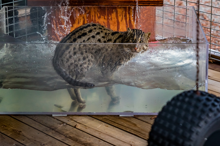 Wild fishing cat in a water tank, looking straight at the camera, at a sanctuary