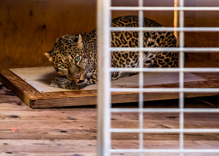 Scared wild leopard, looking straight at the camera and hiding in a cage at a sanctuary