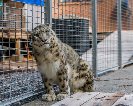 Wild snow leopard scratching its head, looking straight at the camera, in a cage at a sanctuary Stock Photo