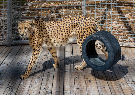 Wild cheetah pacing in a cage at a sanctuary