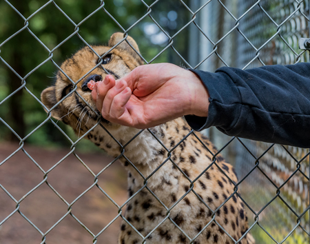 Wild cheetah eating raw meat through the fence from a humans hand at a sanctuary