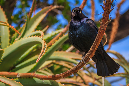 Common blackbird sitting perched on an aloe flower stem with a blue sky in the background in Monterey Californai