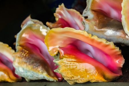 Conch sea shell with pearly pink inside lined up for sale at a souvenir shop in Freeport, Bahamas Banque d'images