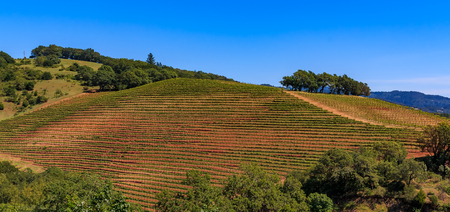 Panoramic view of rows of grape vines on rolling hills at a vineyard in the spring in Sonoma County, California, USA