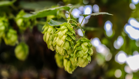 Green hops on a branch with leaves and buds on a blurred background closeup with bokeh