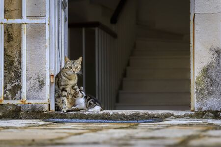 Cute feral alley mama cat feeding the baby kitten in Budva medieval Old Town with Mediterranean stone house in the background in Montenegro, Balkans 写真素材