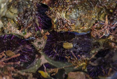 Wild purple sea urchins under water in a Pacific Ocean tide pool at Fitzgerald Marine Reserve in Northern California, Bay Area south of San Francisco