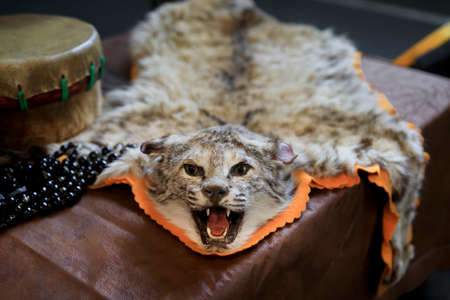 Real bobcat mounted pelt taxidermy full hide next to a hand-made Native American Indian drum and beads on display for sale at a powwow, San Francisco