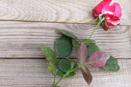 Rote und weiße Rose auf dostochka.View von oben Standard-Bild