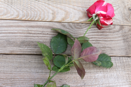 Red and white rose on dostochka.View from above