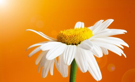 White daisy flower on orange background with highlights Foto de archivo - 128319739