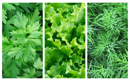 Set of photos with greenery. Lettuce, parsley, dill. Collage