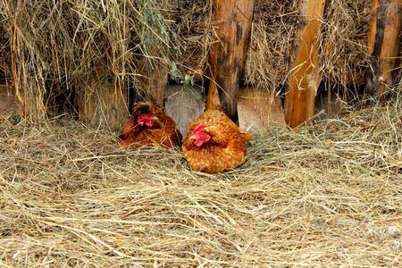 Farm lifestyle in the countryside, hens incubate eggs on a pile of straw in agriculture. Two red bright hen against a background of dry hay
