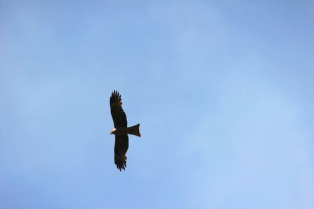 Soaring bird silhouette in the sky. Flight of the steppe eagle in a cloudless summer sky. Eagle soars against the blue sky
