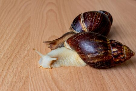 Two brown and white Achatina with a spiral shell crawling on a light table, with copy space. Extreme close-up macro healing of mucus and anti-aging mucus of a giant snail. Selective focus. Stock Photo