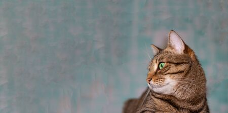 Feline face with green eyes, close-up. European Shorthair cat looks away. Background with cat and free space for inscription.