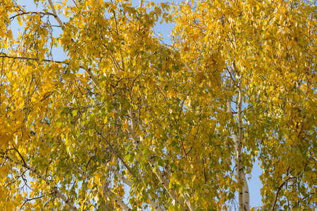 Beautiful yellow birch leaves in autumn. Orange autumn birch foliage, selective focus and shallow depth of field, copy space, autumn background. Russia, Ural