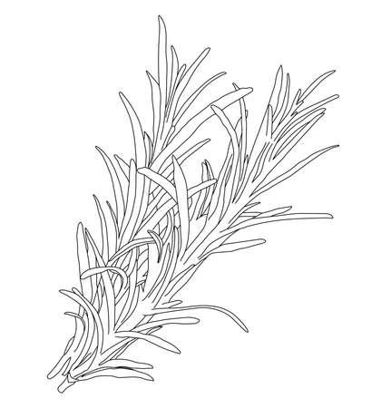Background with rosemary. Floral elements isolated on white background. Hand drawn, doodle style Vektorgrafik