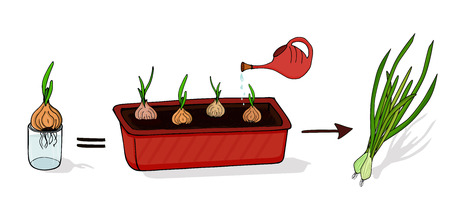 Growing green onions at home. Isolated elements on white background. Vector
