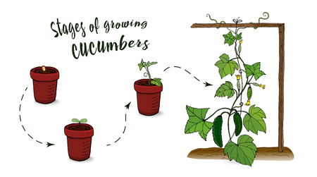 Vegetables. The scheme of growing cucumbers from seeds. Seedlings. Row. Vector