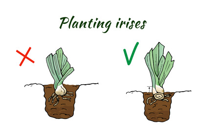 Illustration of the correct and improper planting of the roots of flowers iris. Vector Ilustração