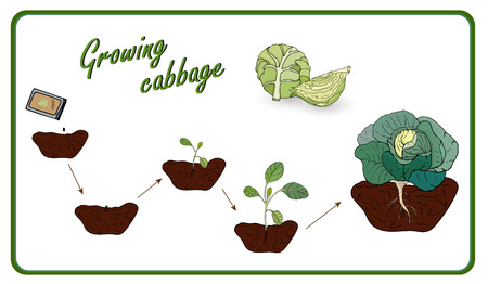 Illustration of the stages of cultivation of cabbage from seed to harvest, planting, seedlings, cabbage cabbage. Vector