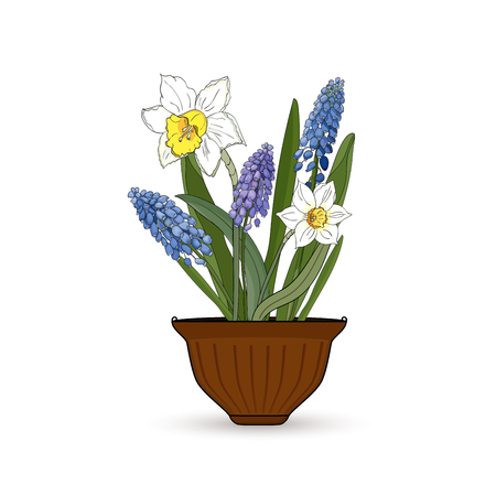 Flowers narcissus and muscari in a flower pot on a white background.