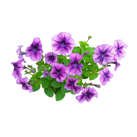 Large purple petunia flowers isolated on white background