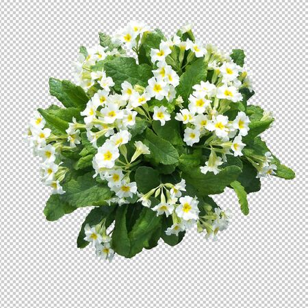 Spring primrose flowers on an empty background